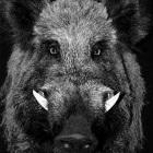 wild-boars_icon.jpg